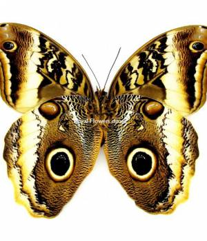 Бабочка Калиго