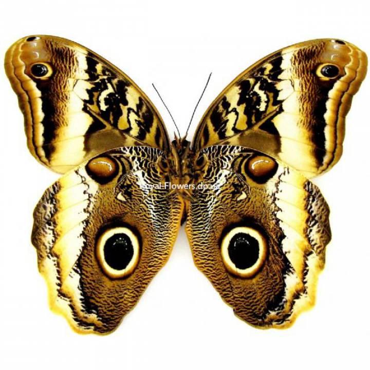 Тропическая бабочка Калиго