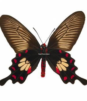 Бабочка Черная роза