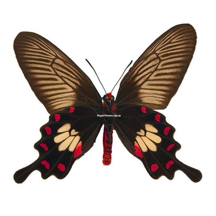 Живая тропическая бабочка Черная роза