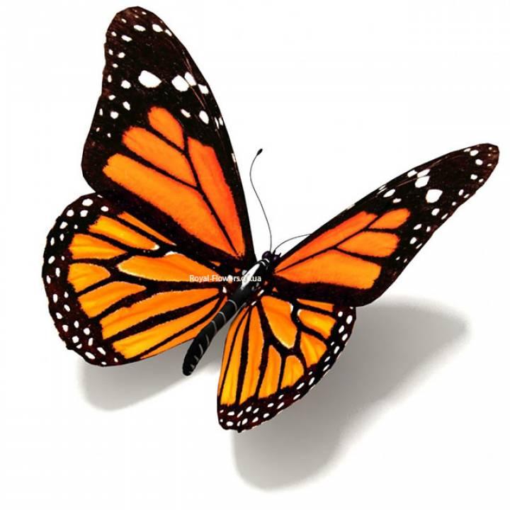 Тропическая бабочка «Монарх»