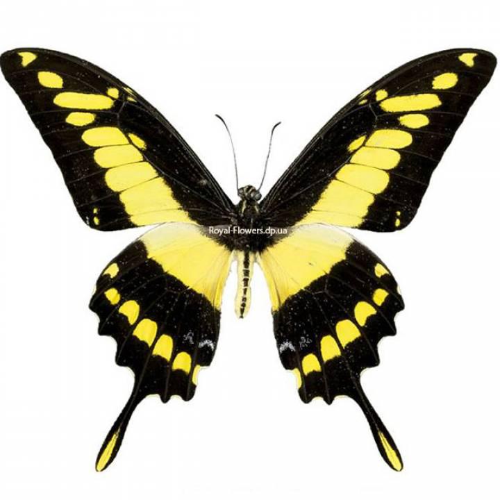 Живая тропическая бабочка Тоас
