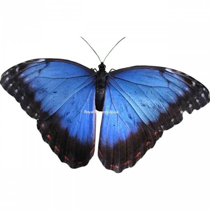 Тропическая бабочка «Морфо»