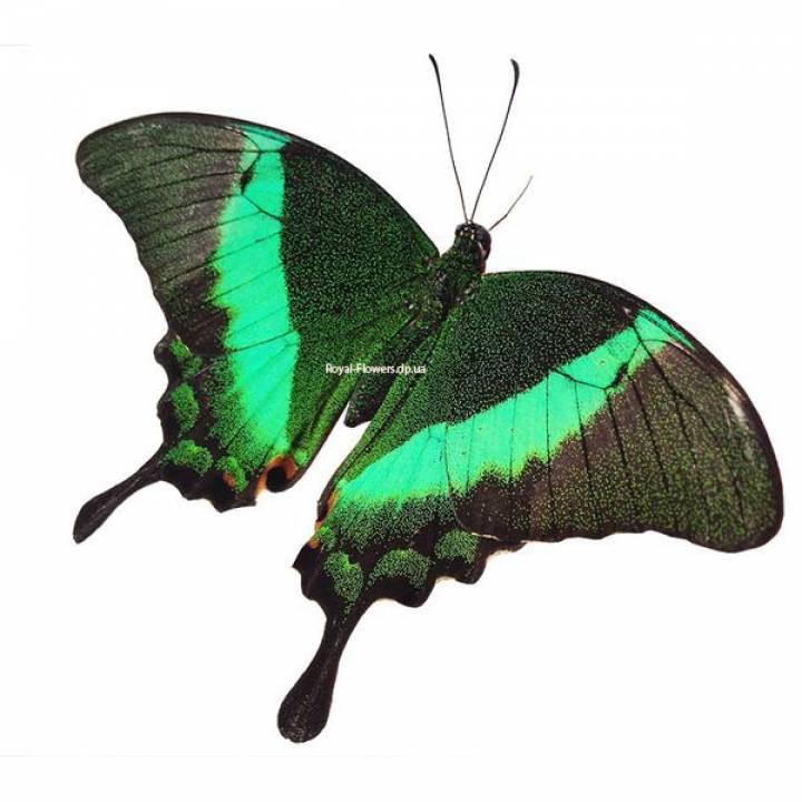 Живая тропическая бабочка Павлин