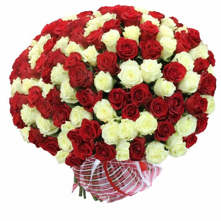 101 роза белая и красная  сорт: Гран-При и Аваланч