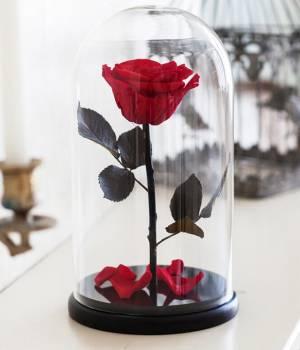 Долговечная живая красная роза